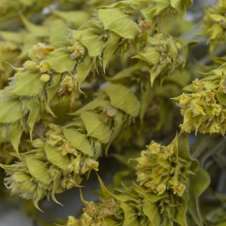 Τσάι του βουνού Όλυμπος (Sideritis scardica)